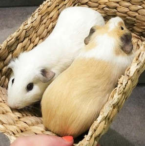 Kimba Likes my week in photos | Nunucoco and Mr Grohl, the cutest Mini Guineas in town